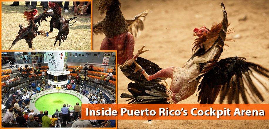 លទ្ធផលរូបភាពសម្រាប់  cock fighting in puerto rico