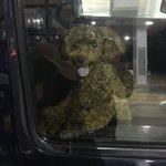 可愛い顔して鬼畜wワンコがガソリン給油中に車の中から鍵閉めて詰んだ!