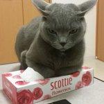 ティッシュに嫉妬して、ティッシュ箱を潰す猫が可愛すぎると話題!