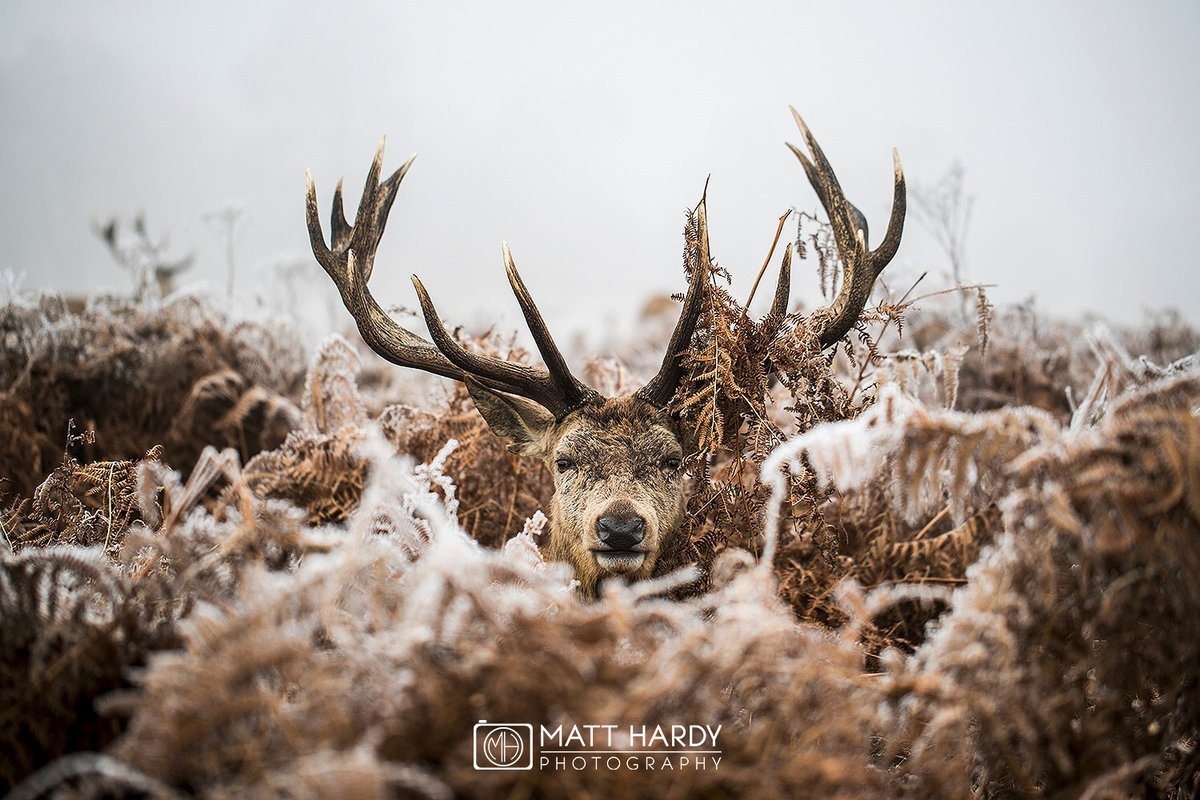 Beautifully done. @MHardy_Photo with an absolute belter of a stag shot from Richmond Park #WexMondays https://t.co/GACnAgL0ok