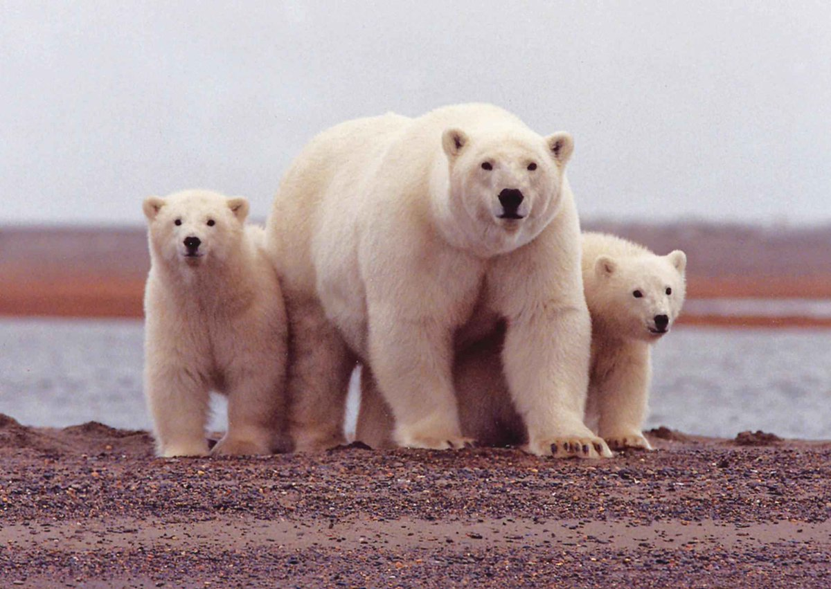 Mythbusting #climate fact: Polar bears, as well as many other species, are in danger of extinction.  https:// skepticalscience.com/polar-bears-gl obal-warming.htm &nbsp; … <br>http://pic.twitter.com/sJpjAwB0g8