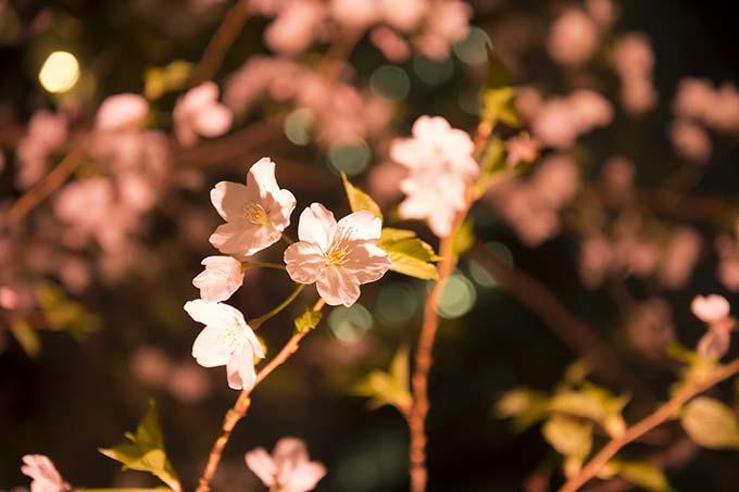 """「日本橋 桜フェスティバル」一帯を桜色の光が包む""""桜ライトアップ""""&限定メニューが揃う屋台も fas…"""