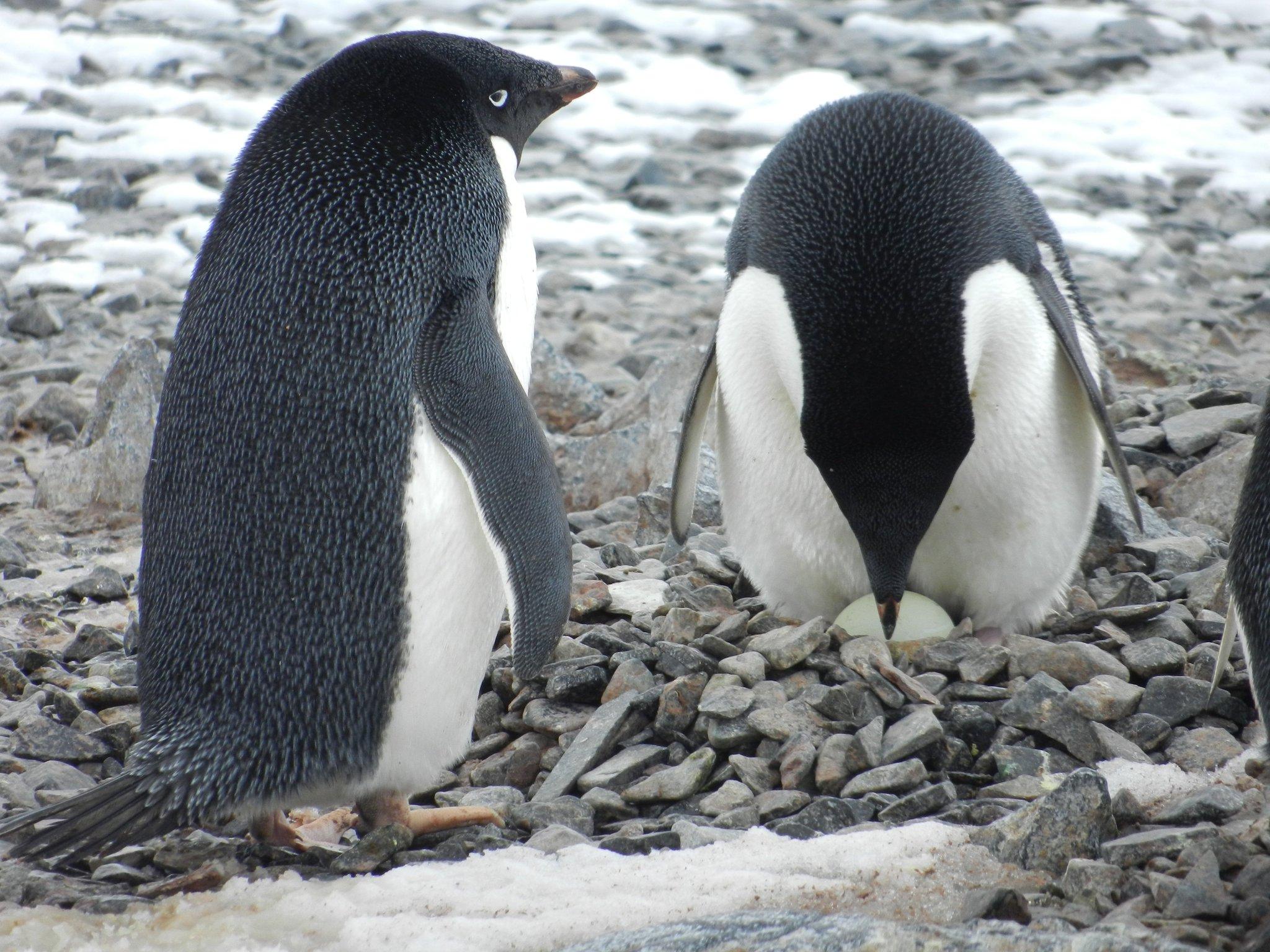 пингвин адели фото что