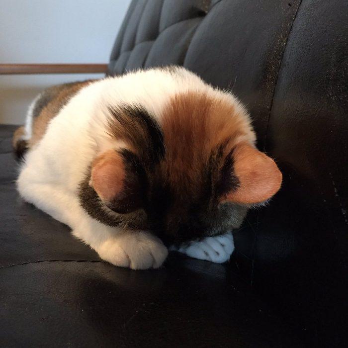 なにを反省してるのかニャ  三毛柄の頭がいとおしい! 京都の猫カフェでごめん寝を披露する猫スタッフさ…
