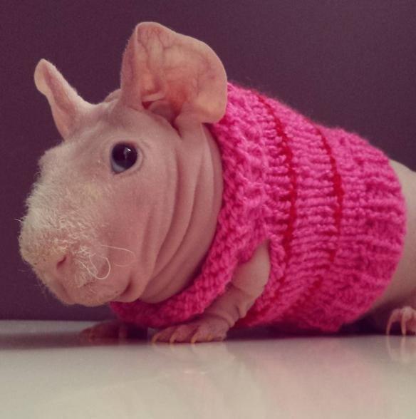 Ludwik the naked guinea pig #CuteOverload https://t.co/mtRpUILiHg