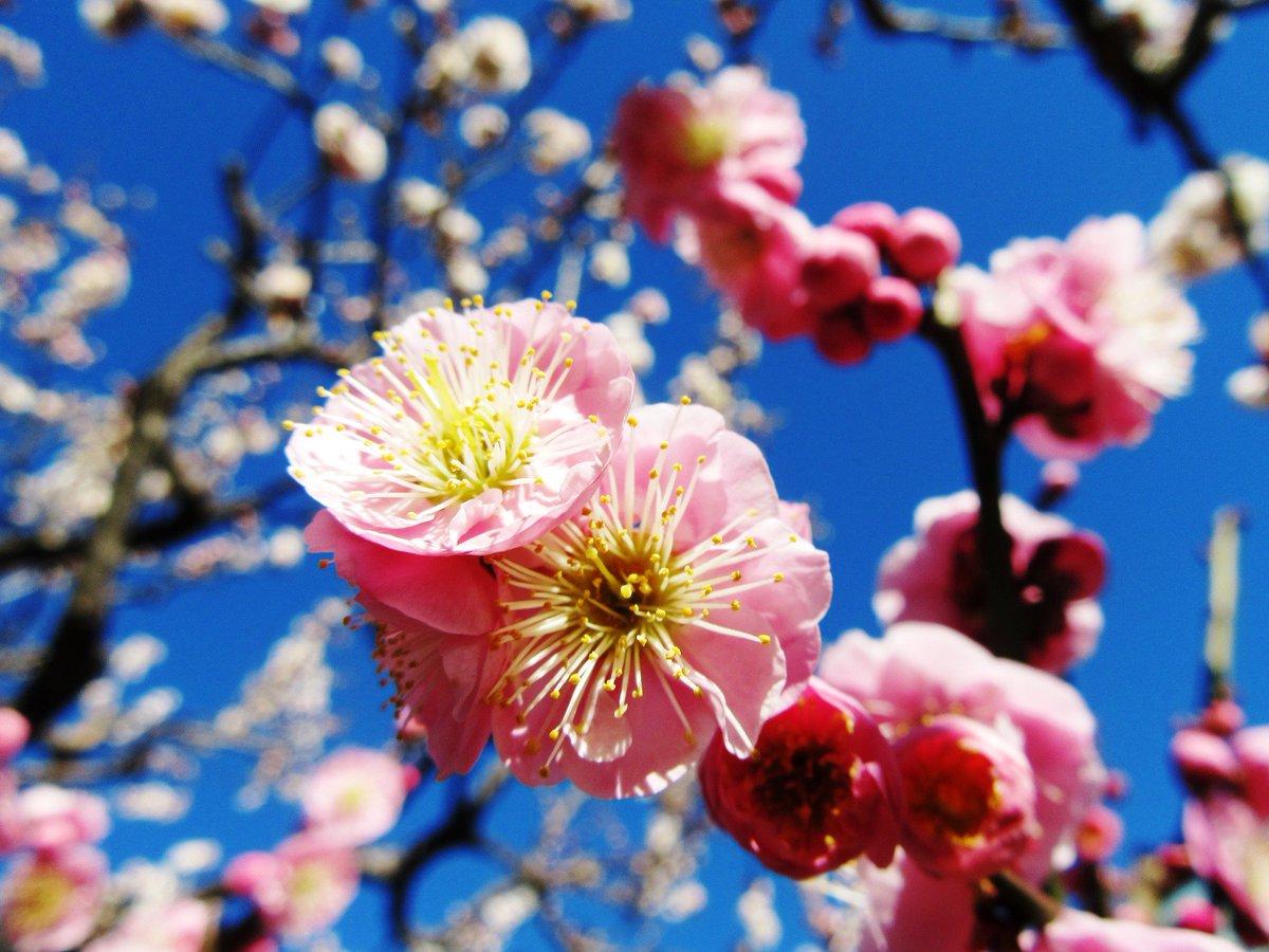 【旧芝離宮恩賜庭園】ウメが咲き始めました。園内梅林にゆっくりとお楽しみいただける様に、ベンチをご準備…