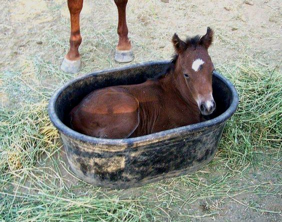 This foal in a bath tub is all we need to see today (Via Pinterest) https://t.co/WUvB3IsVzm