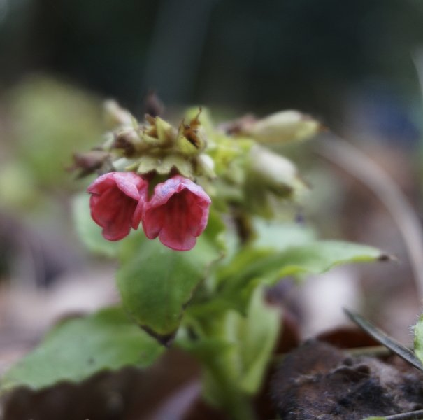 Pulmonaria rubra is the first of the @RHSWisley collection of lungwort...