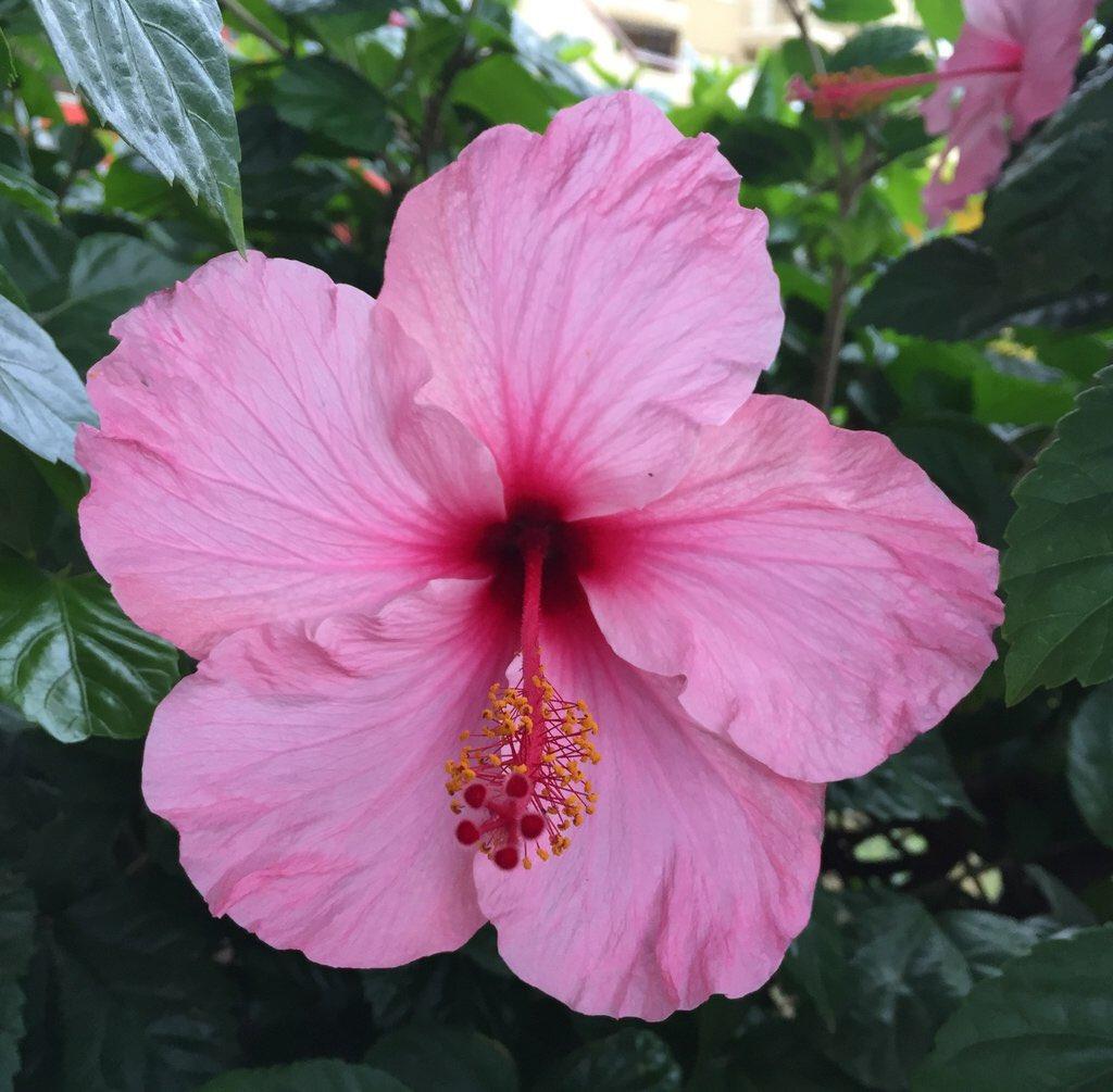 Fibrex Nurseries On Twitter Hibiscus Rosa Sinensis Pink Frost