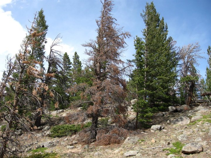 Spurred by #climate, beetles have killed 5 million acres of Colorado forests (&amp; counting)  http://www. huffingtonpost.com/entry/colorado -dying-forest-trees-beetle-kill-pine_us_58a60fe9e4b07602ad52e1c4 &nbsp; …  #divest <br>http://pic.twitter.com/E7EbPrH3jD
