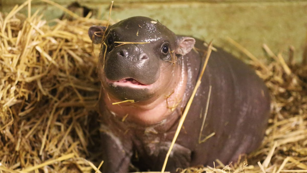 Today is #RandomActsOfKindnessDay so we got you this baby hippo. AWWWW...