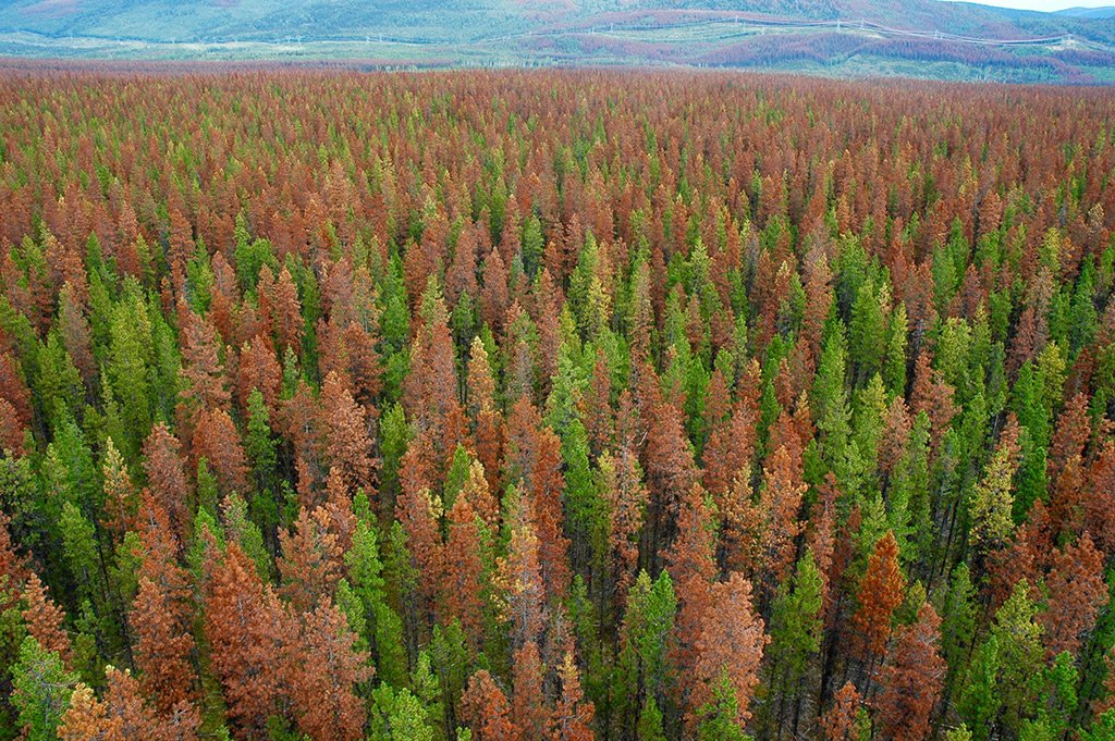 How we&#39;re working to restore whitebark pine #forests in BC devastated by blister rust &amp; mountain pine beetles:  http:// ow.ly/7CUc3096hOC  &nbsp;  <br>http://pic.twitter.com/pSZpssjUsq