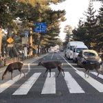 ビートルズのジャケット写真をまねしたかった鹿たちwそれを見守る奈良の人々!
