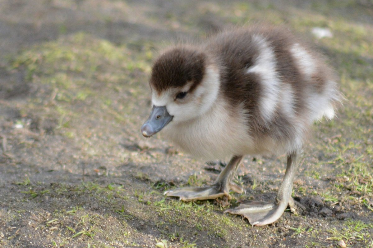 CUTENESS ALERT!  Look what I found in St James Park.  #egyptiangoose #gosling  #signsofspring  @LondonNPC #NationalParkCity<br>http://pic.twitter.com/K3HmLXmBC6