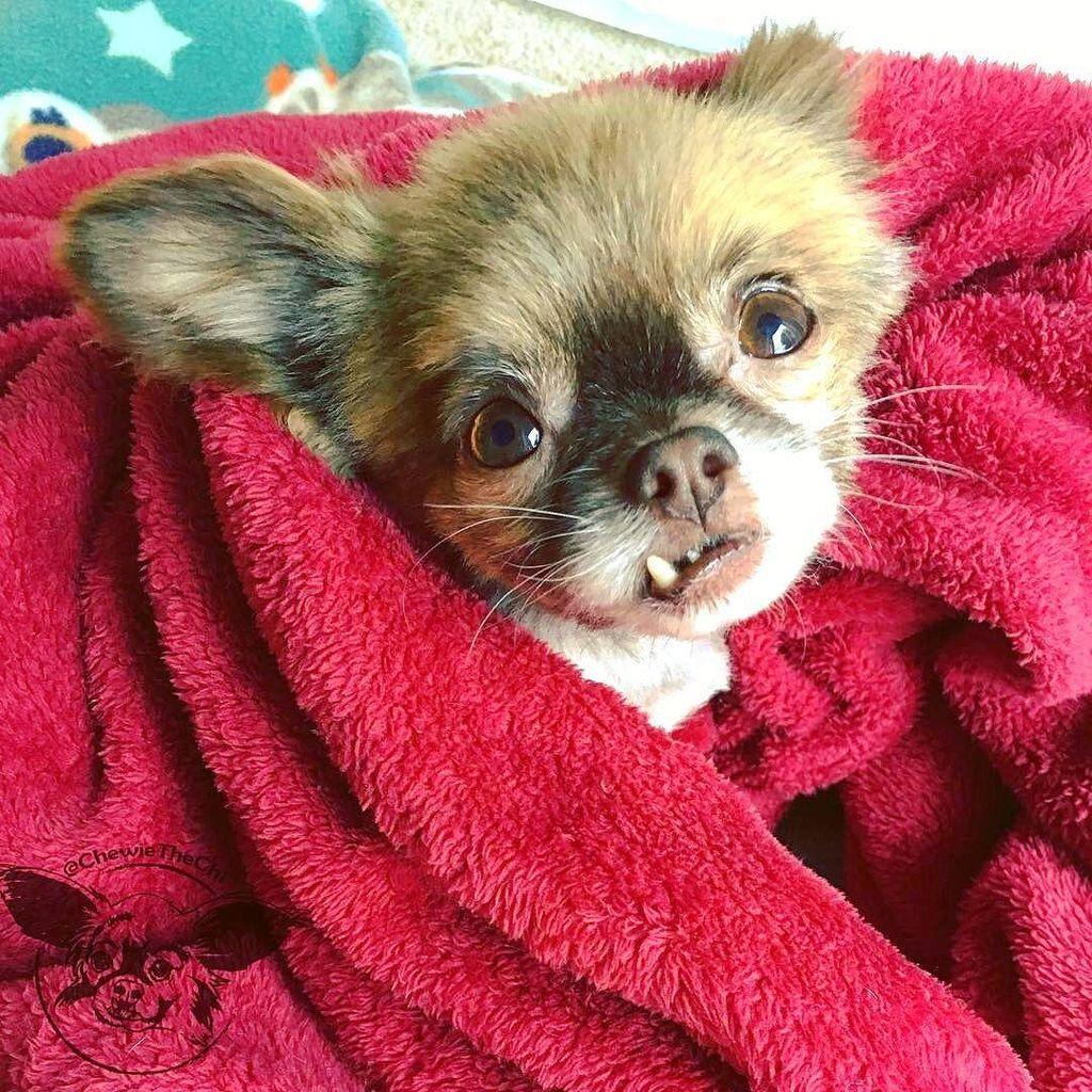 Regram from @chewiethechi -  Not leaving this #cozy #blanket all day. #saturday #saturdaymorning #morningsun #morni…<br>http://pic.twitter.com/7nzSMJMvGk