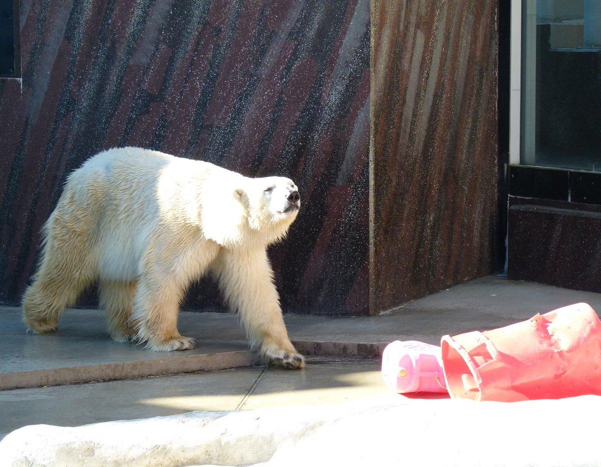 ホッキョクグマという種名ですが、実は当園の2頭はホッキョクの出身ではありません!オスは北海道、メスは…