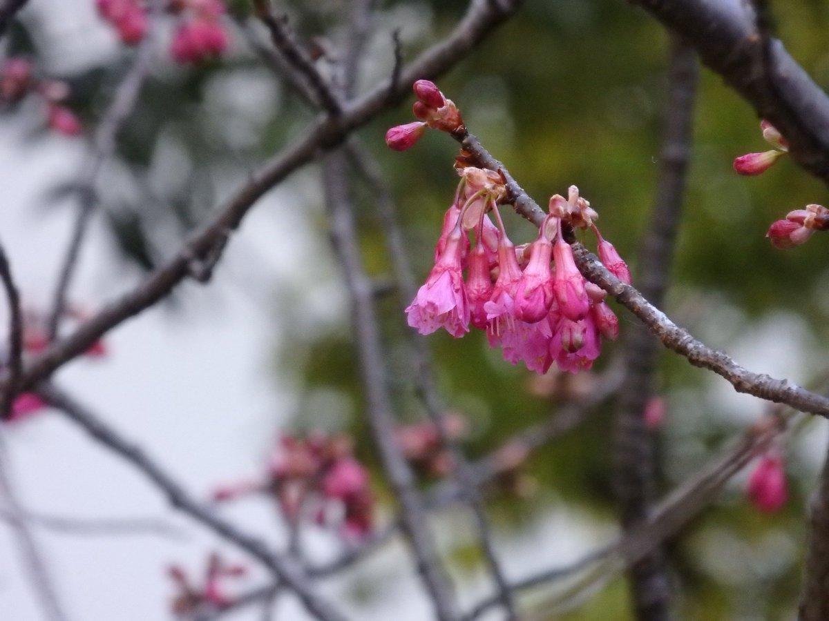 """【小石川後楽園】内庭では""""カンヒザクラ(寒緋桜)""""の蕾がほころび始めています。うつむき勝ちに咲きます…"""