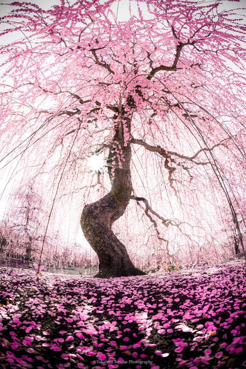 鈴鹿の森庭園の過去の写真です。あまりの枝ぶりによく桜と間違えられますが梅の写真です。1ヶ月も経たず、こんな風景が見られるようになるとは想像も出来ないほどに今日は寒い雪の一日でした。  #鈴鹿の森庭園 #三重 #梅 #しだれ梅