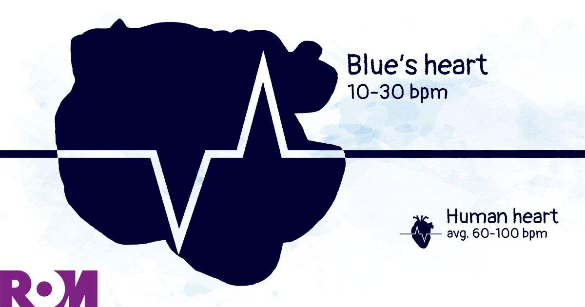 The ROM's blue whale heart beats 6 times slower than mine! <br>http://pic.twitter.com/D1m1yhkZJI #ROMBlueWhale  https://www. rom.on.ca/blue-whale/cal culator &nbsp; …