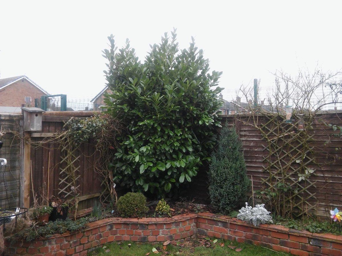 Reduce Trim Conifer Hedge Remove