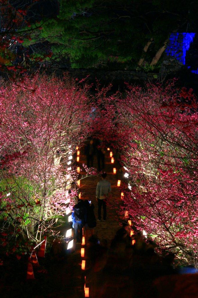 夜桜🌸沖縄の今帰仁城から 今日七分咲き...もうすぐ満開。