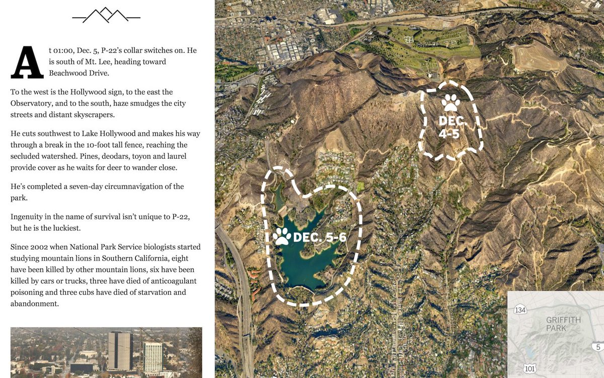 Maarten lambrechts on twitter a week in the life of p22 the big the big cat who shares griffith park with millions of people httplatimesprojectsla me griffith park mountain lion with mapzen map by gumiabroncs Image collections