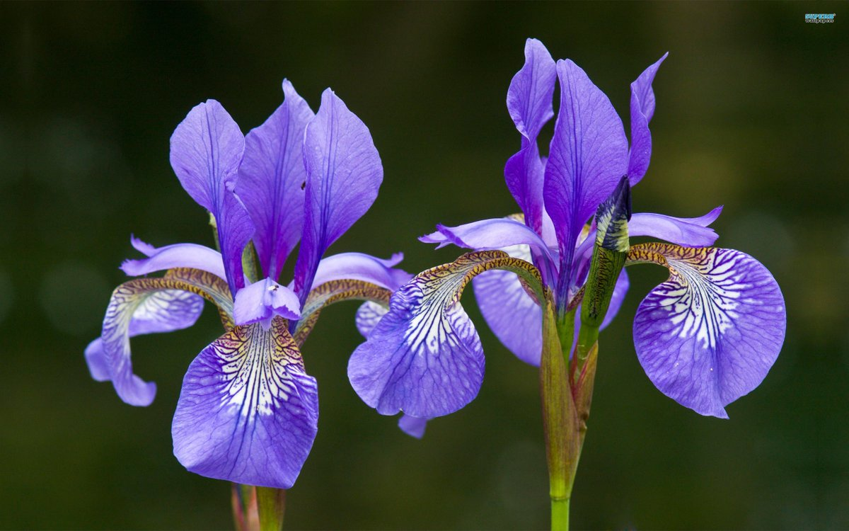 World Love Flowers On Twitter Loveflowers Facts The Iconic