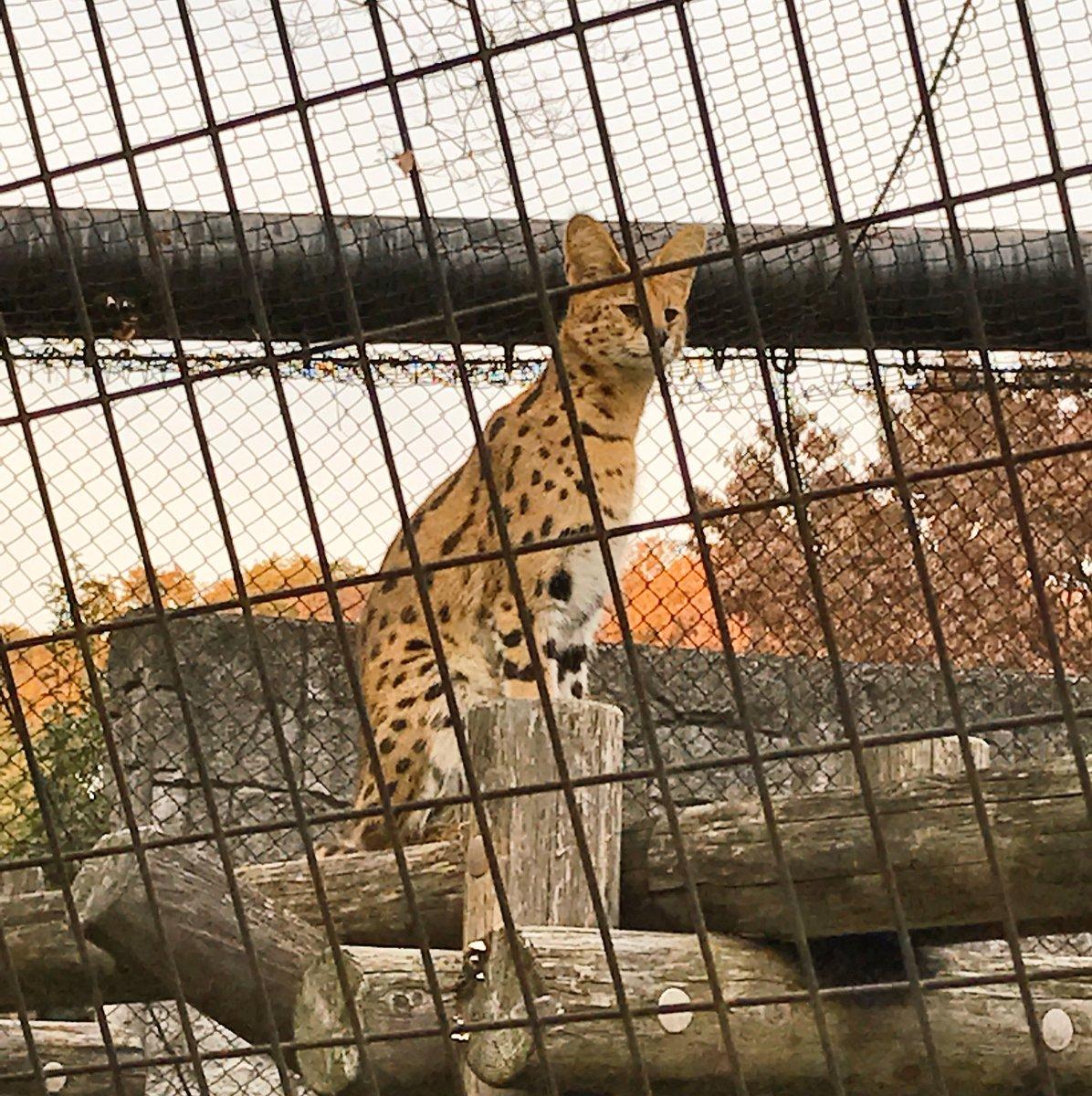 多摩動物公園のサーバルに人気者だよって伝えたいな〜🐱💕 皆んなも会いに行こー😆!! #けものフレンズ…