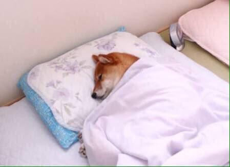 暖かくて、枕の高さもちょうどいいと夢心地な犬たちwww