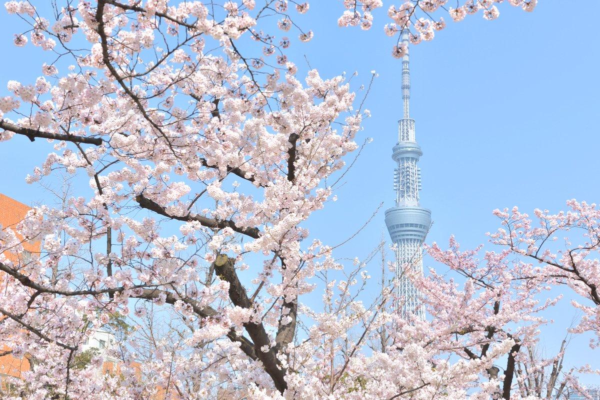 """東京スカイツリーを世界一高い桜に見立てた特別ライティング""""舞""""、さくらのフードメニューも fashi…"""