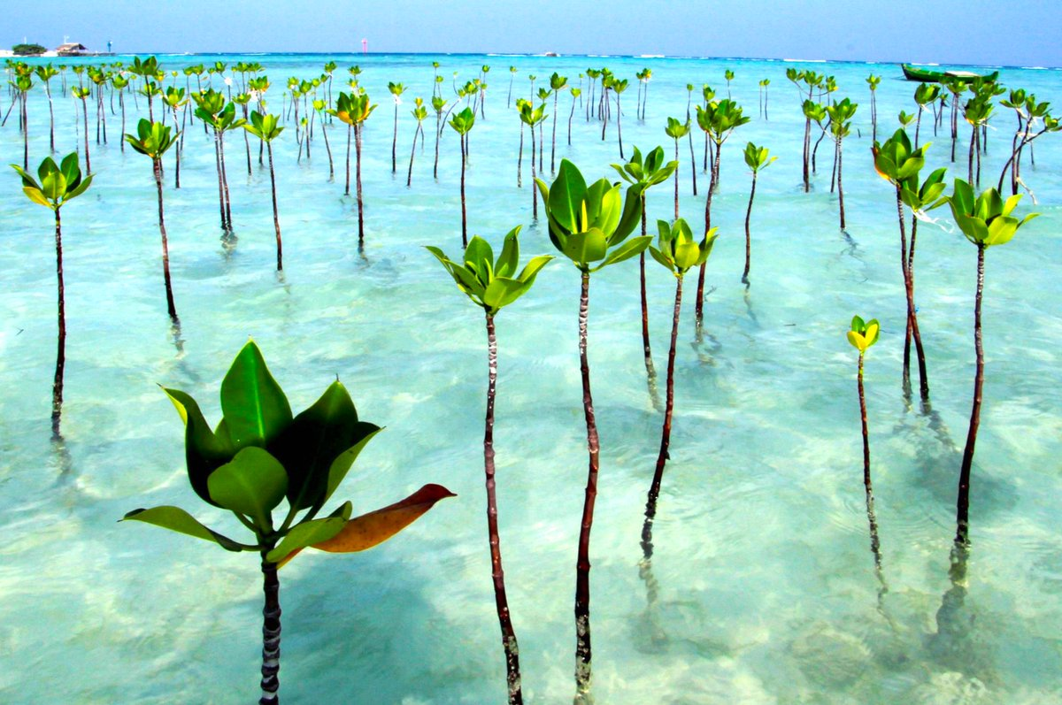 Robert Stacewicz On Twitter Mangrove Species Are Highly