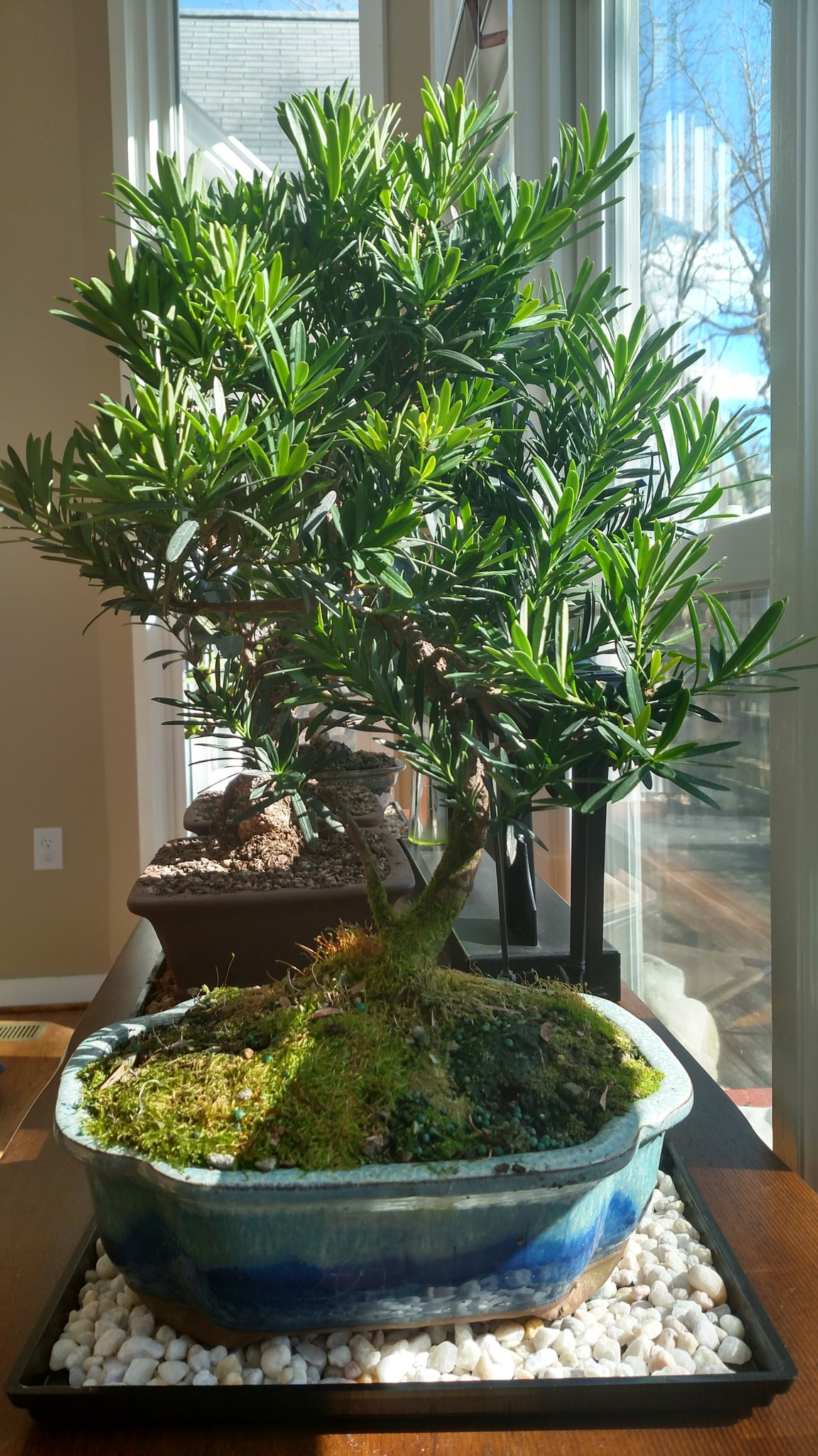 Lisa Shearin The Entity Game On Twitter A Valentine S Day Gift From Derek A 10 Yr Old Podocarpus Bonsai Arrived In Perfect Condition As Did All My Trees From Brusselsbonsai Https T Co Lhntdfb40q
