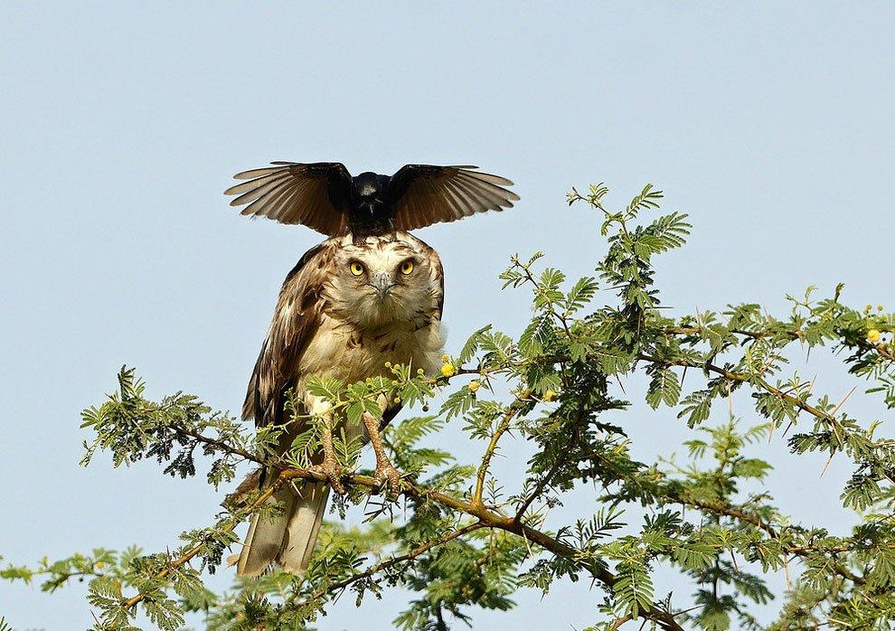 アマチュアフォトグラファーGreaves Henriksenさんがインドで撮影した、ワシの頭にカラス…