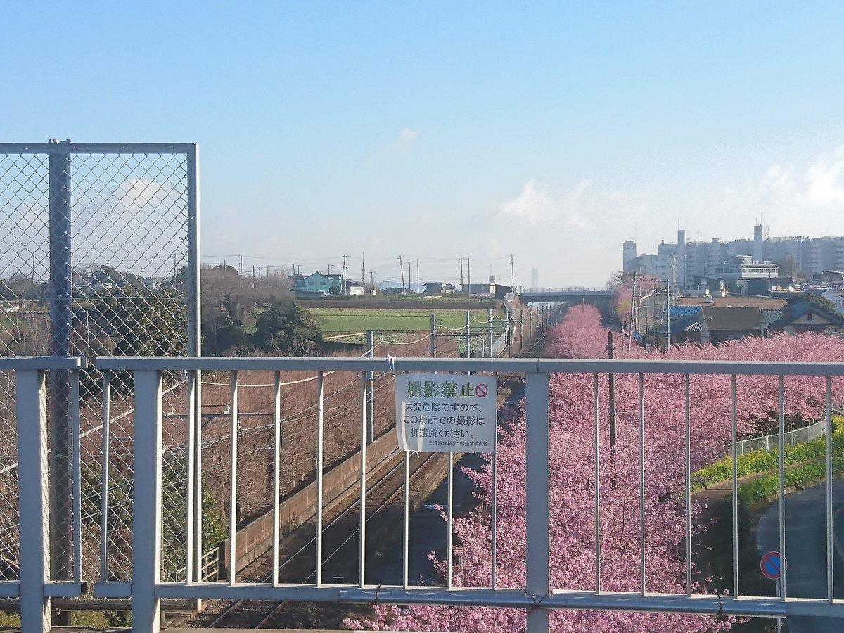 【速報】三浦海岸~三崎口の河津桜との鉄橋が撮影禁止に