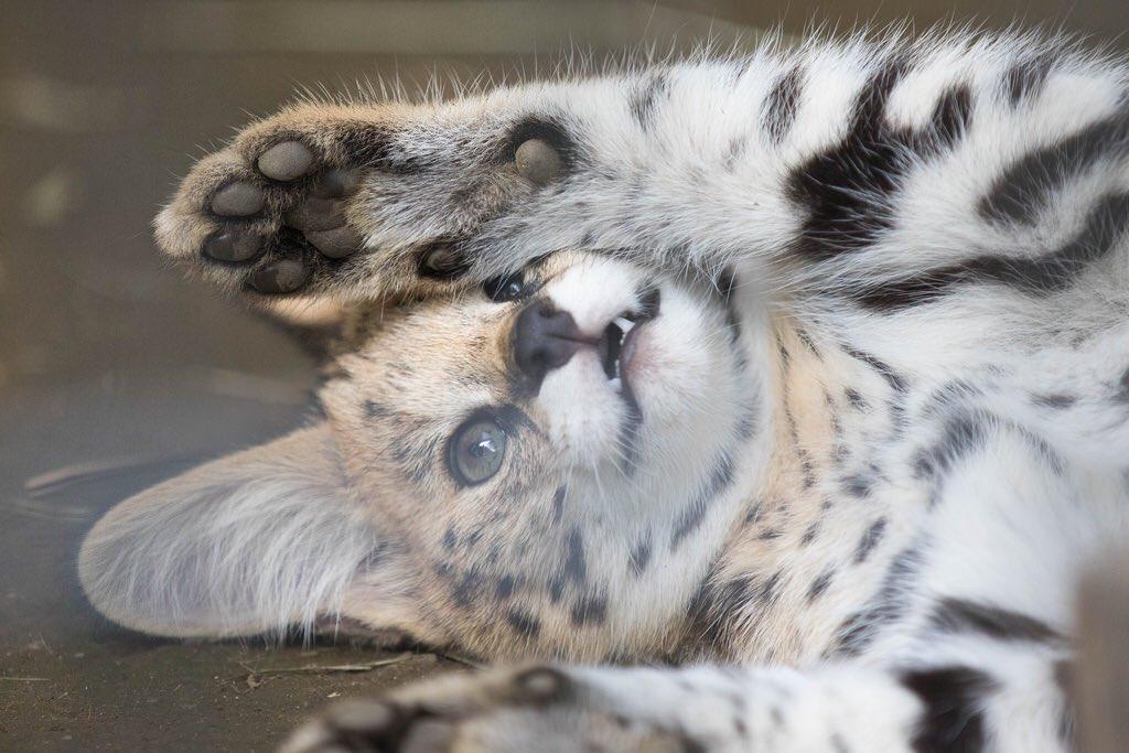 羽村市動物公園のサーバルの赤ちゃん(2015年6月頃)