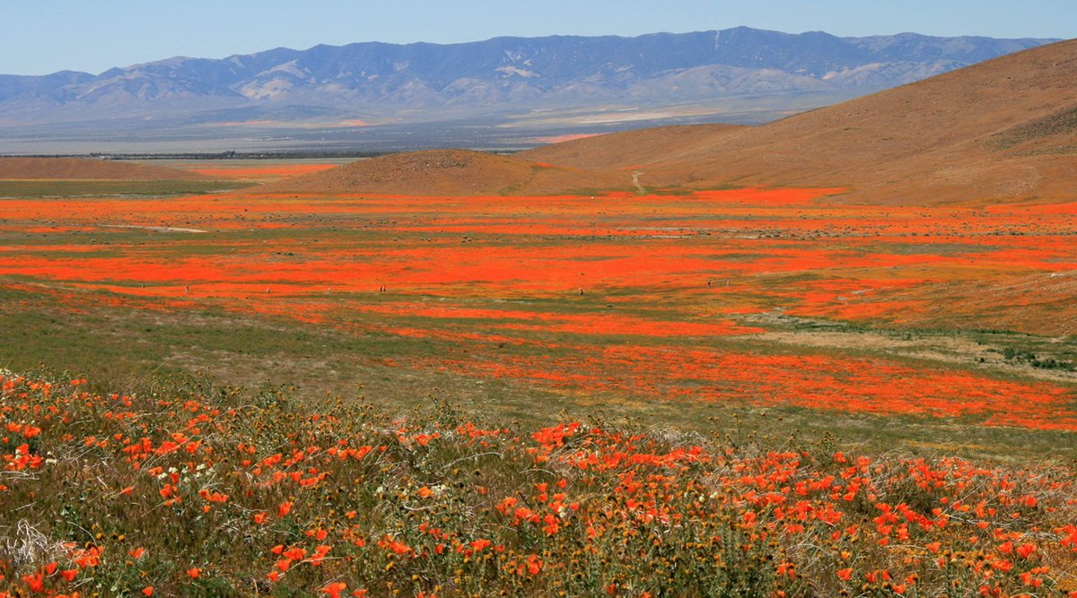 Heavy Rains May Bring a #California Poppy Spectacle This Spring via @KQEDnews https://t.co/bRrbVLMm2e https://t.co/zZRHSELb9U