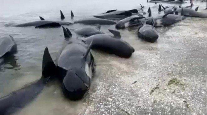 2月10日にニュージーランド南島で400頭以上のゴンドウクジラが浜辺に座礁しました。東日本大震災の一…