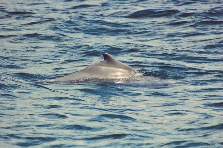 #NTVwild in #Watamu w/ rare dolphins today. Who is this? @SmritiVidyarthi @paulakahumbu @PhilipOgola @wildlifedirect w/ @kwskenya #dolphins https://t.co/VfgBFXBbG8