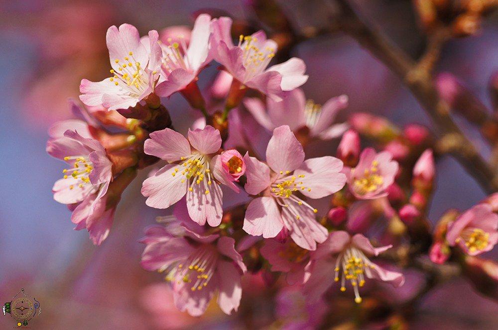 The #Zen of #CherryBlossom Time 2017 in #HotSprings #Sakura #Arkansas