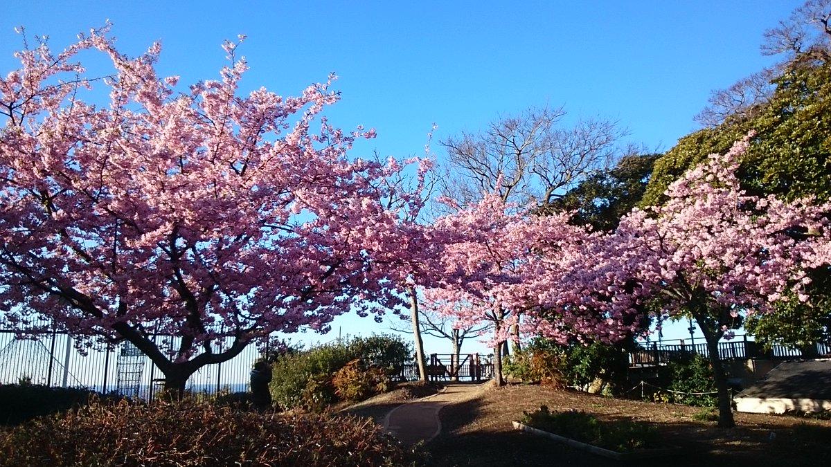 江ノ島の河津桜が満開です