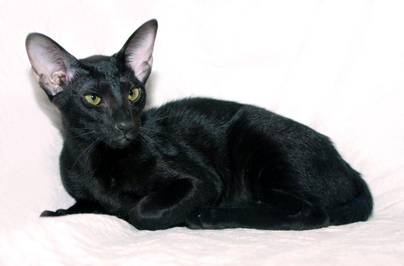 черная абиссинская кошка фото течением времени