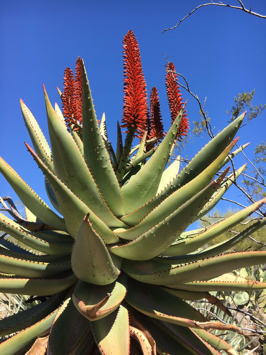 Put anything in front of a clear blue sky like this and set aside your worries and your cares. (The plant is Cape aloe btw). #clarity <br>http://pic.twitter.com/ts1tlEOvZk