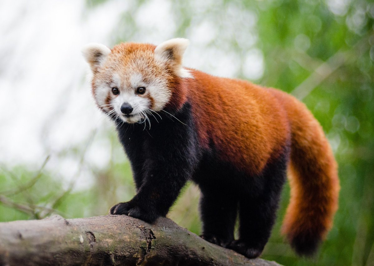 Extinction symbol on twitter the red panda population is on extinction symbol on twitter the red panda population is on decline with increasing deforestation smuggling and poaching httpstfxqgbeujvw biocorpaavc Choice Image