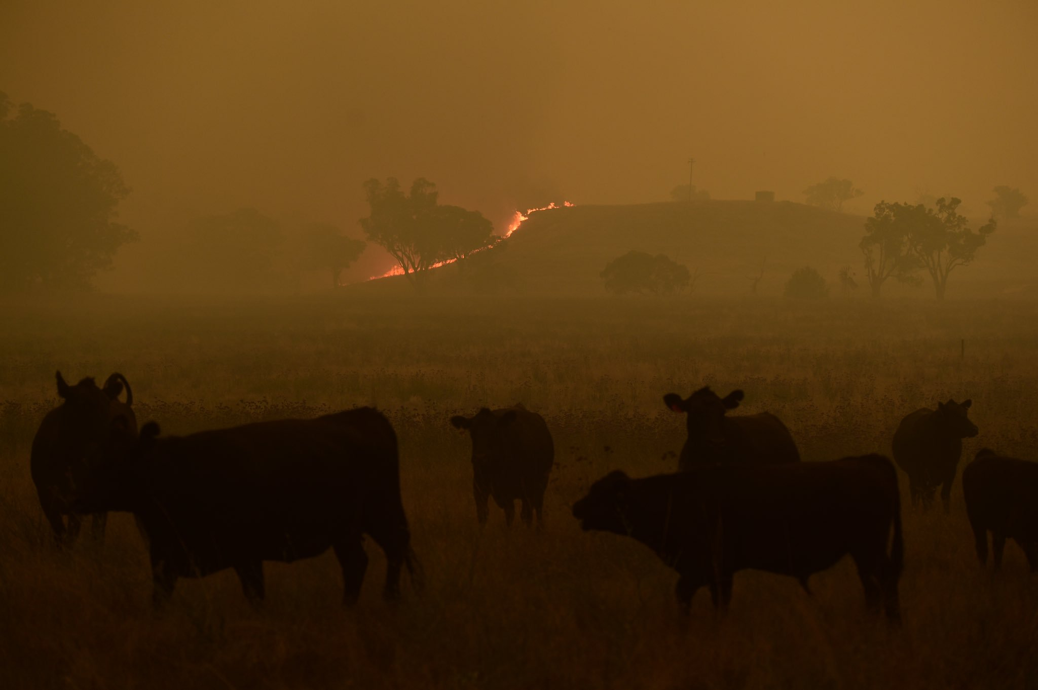 #Cattle escape a grass fire burning towards the small township of #Wollar in the greater #Hunter region. @NSWRFS @clique_photos @photosSMH https://t.co/HmuUrHqLal