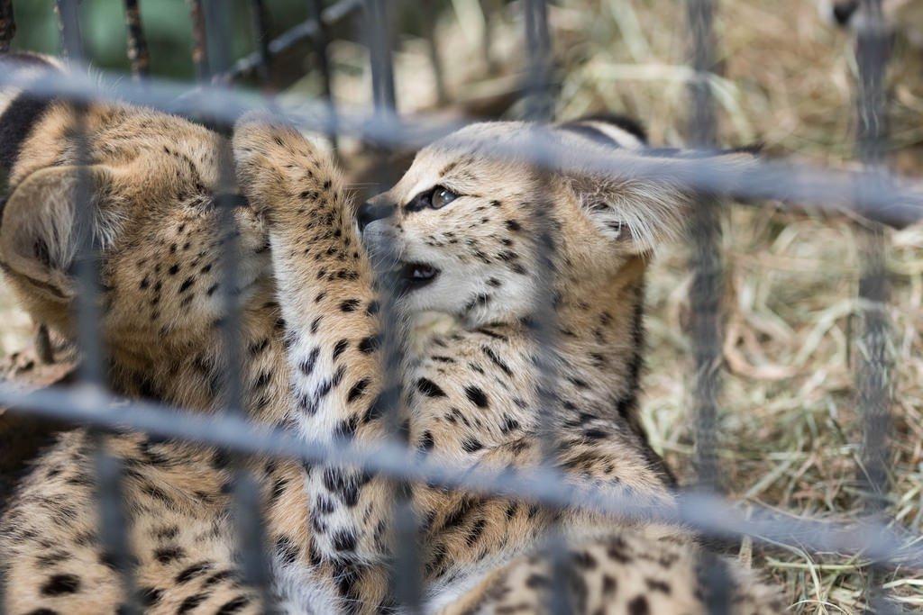 tweet  【けものフレンズ】サーバルキャットに会える国内の動物園まとめ , NAVER まとめ