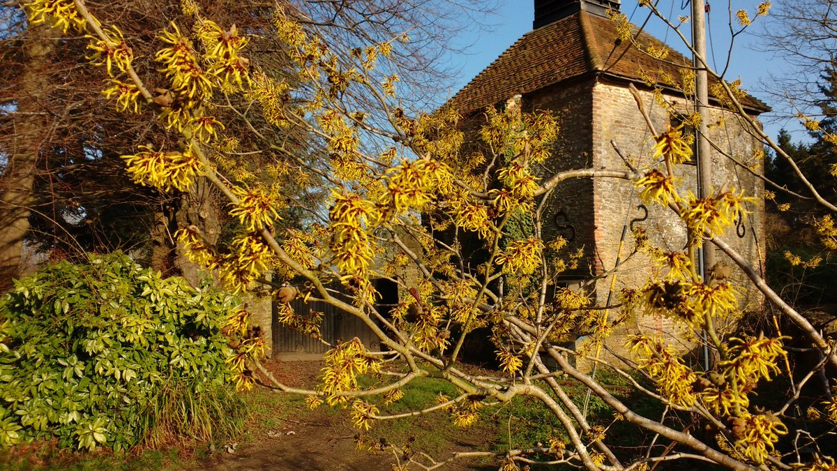 Signs of #spring around #loseley #snowdrops #catkins #witchhazel #hamamelis