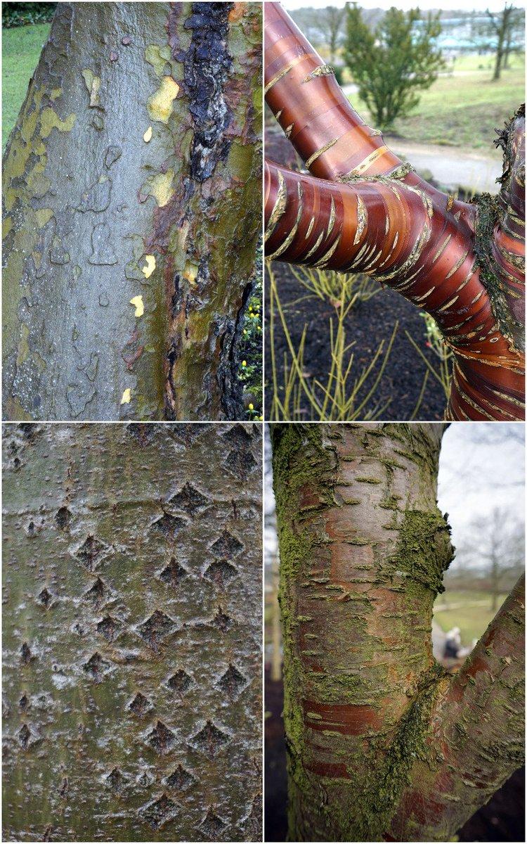 Winter is a chance to enjoy bark @RHSHarlowCarr - soon eyes will be dr...