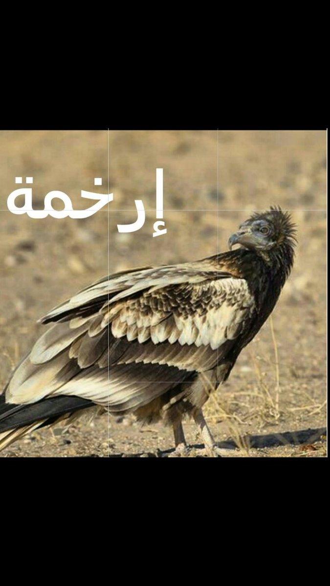 بوفادي عين السيح On Twitter معنى كلمه رخمه