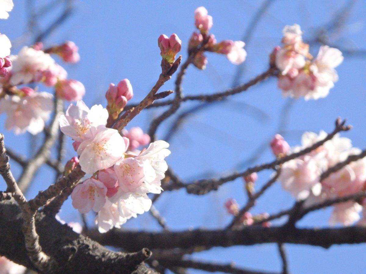 #桜 咲いてたヽ(´▽`)/ 外務省からすぐの国会前庭