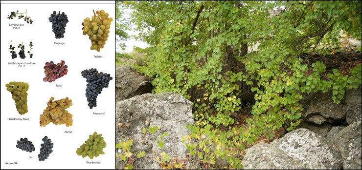 A lire sur ArcheOrient Le Blog - Diversité de la #vigne et des #vins #archéologiques: le programme Viniculture  http:// bit.ly/2lrwYfY  &nbsp;  <br>http://pic.twitter.com/75u0Xt7L3x
